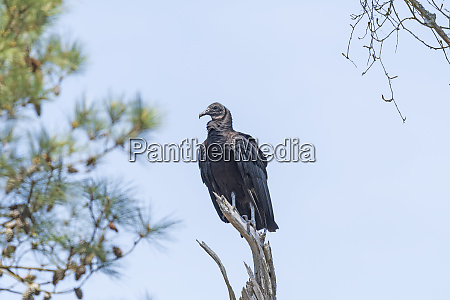 black vulture in a old dead