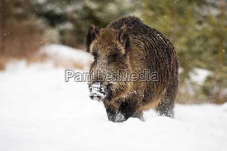 big wild boar wading through deep