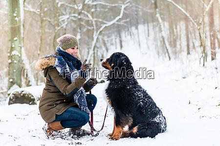 woman walking bernese mountain dog on