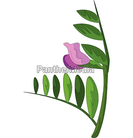 clipart of the vetch flower vector