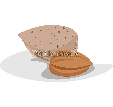 almond vector or color illustration