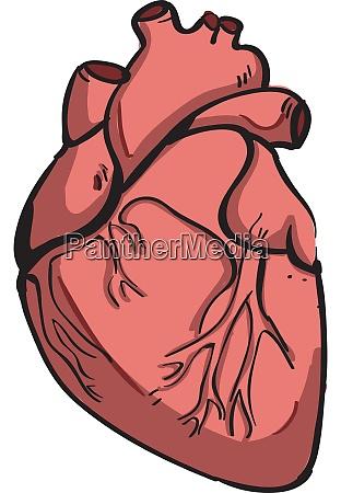 human heart illustration vector on white