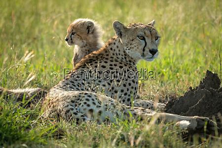 female cheetah lies in grass with