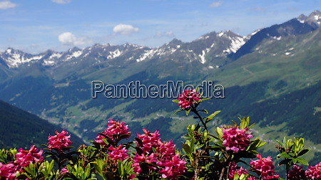 pink blossoms of the alpine roses