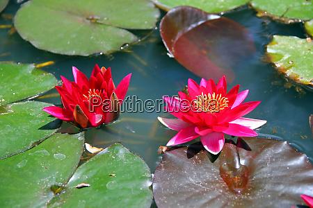 pink waterlilies floating in parque terra