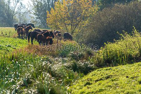 brown wild horses graze in the