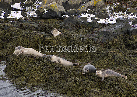 the seals in iceland sunbathe on