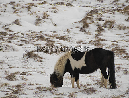 spotted icelandic pony eating in the