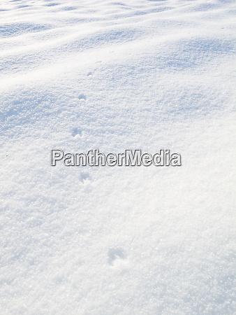 fox tracks with fox paw prints