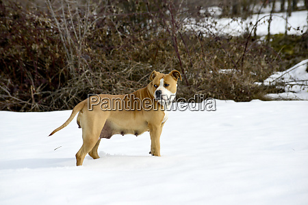 amstaff breed are posing dog on