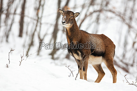 uncertain wild female mouflon sheep standing