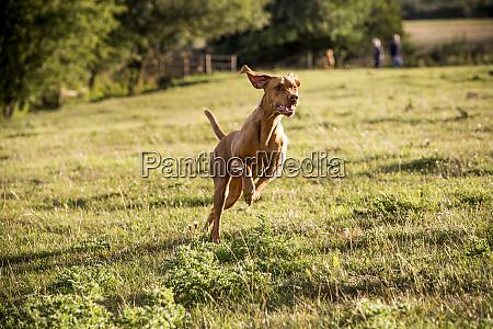 portrait of vizla dog running across