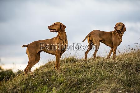 portrait of two vizla dogs standing