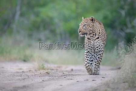 a male leopard panthera pardus walks
