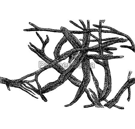chondrites bolensis elongates vintage engraving