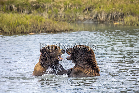 boar male and sow female bears