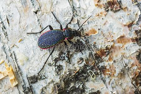 rainbow beetle carabus vietinghoffi showing its