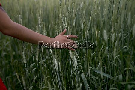 womans hand touching wheat