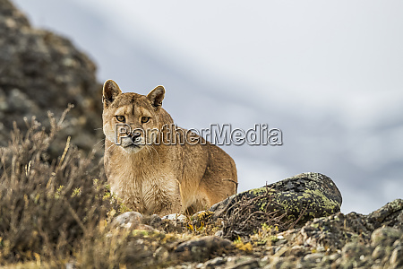 puma standing in the landscape in