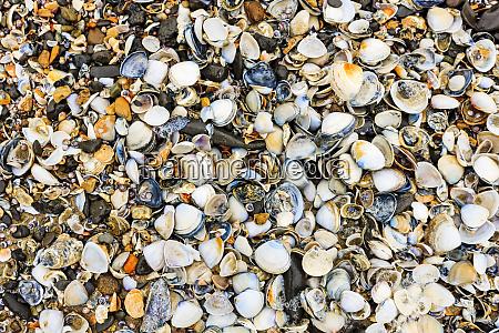 abundance of seashells of various sizes