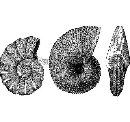 ammonites triassic vintage engraving