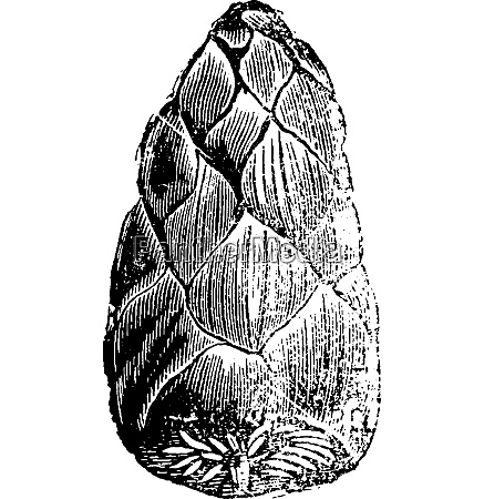 fruits of cycads petrified vintage engraving