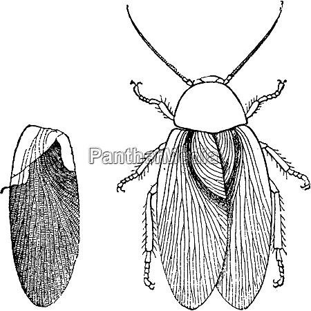 insect of the carboniferous era blattina