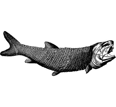 palaeoniscus freislebeni vintage engraving