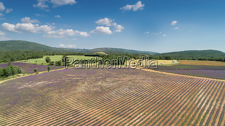 aerial view of a lavender plantation