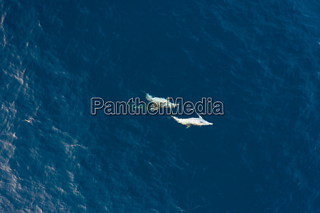 aerial view of two dolphin swimming