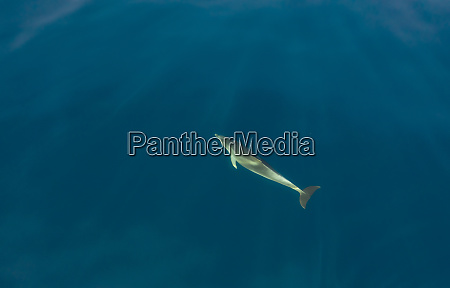 aerial view of dolphin swimming at