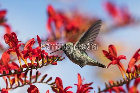 a female annas hummingbird calypte anna
