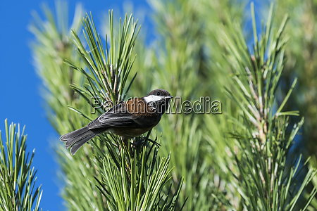a chestnut backed chickadee poecile rufescens