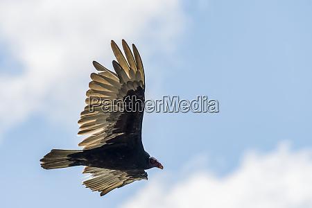 a turkey vulture cathartes aura circles