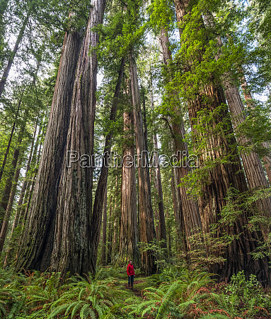 man standing in the redwood forests