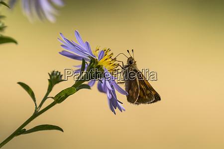 a woodland skipper butterfly ochlodes sylvanoides