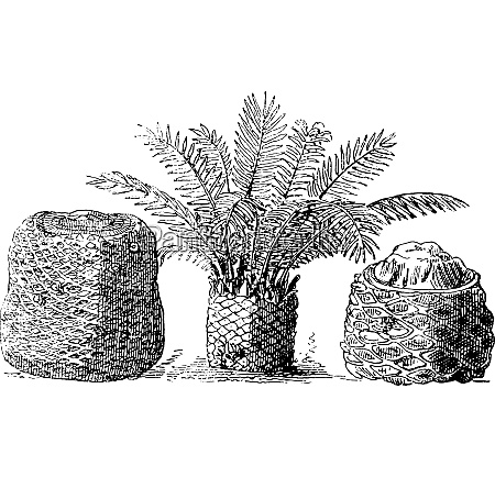 fossil cycads of the muddy layers