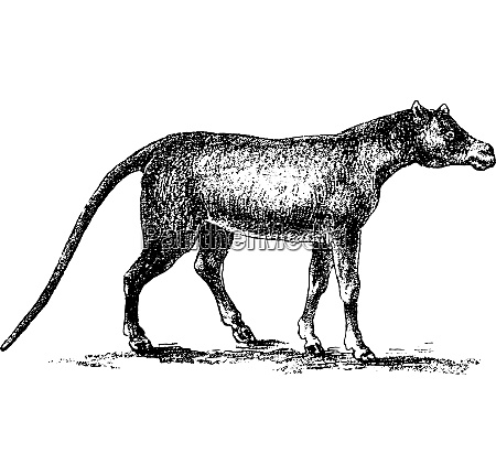 common anoplotherium vintage engraving