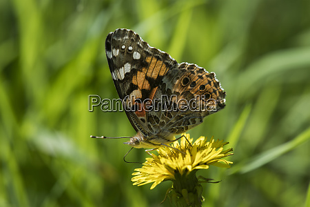 a painted lady butterfly vanessa cardui