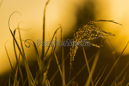 ornamental grass catches the light of