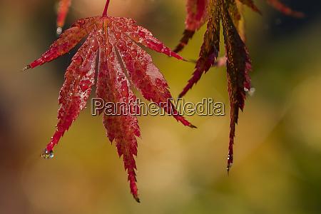 japanese maple acer palmatum leaves turn