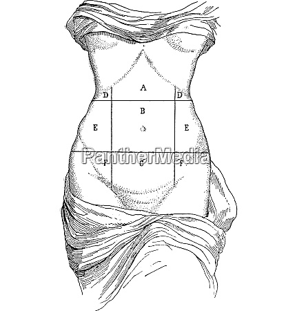 abdomen and its subdivisions vintage engraving