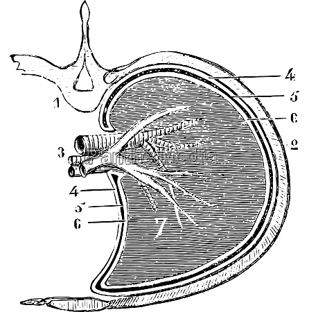 horizontal section of the lung and