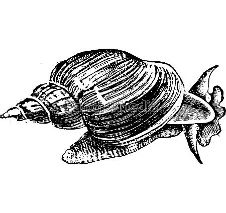 slug ponds snail vintage engraving