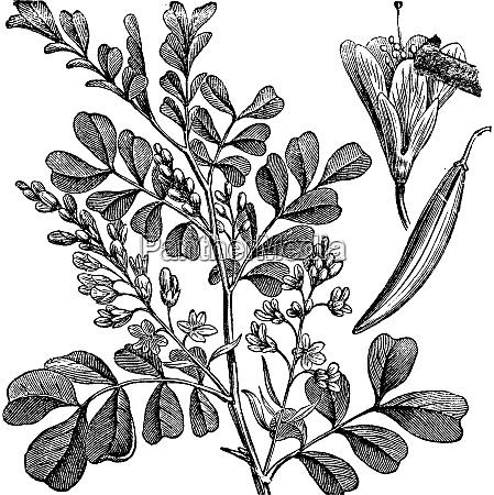 haematoxylum campechianum logwood vintage engraving