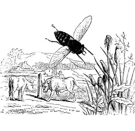 gadfly oxen vintage engraving