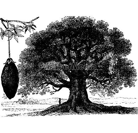baobab vintage engraving