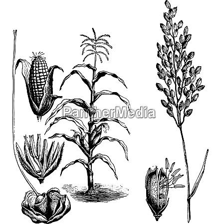 maize rice vintage engraving