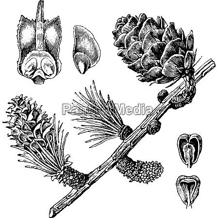 larch vintage engraving