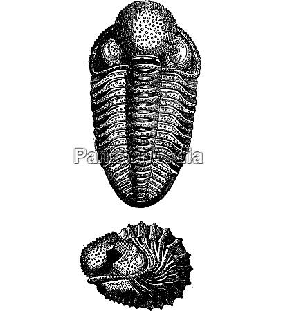 crustaceans of the devonian period vintage